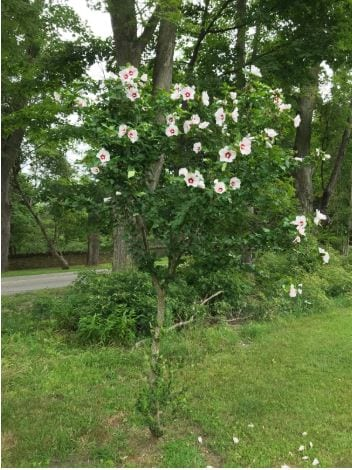 The Rose of Sharon in bloom_July 2020 (Planted by Fred Williams)
